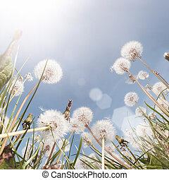 campo, dandelion, verão