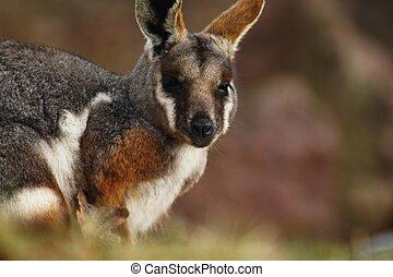 canguru, yellow-footed, rock-wallaby