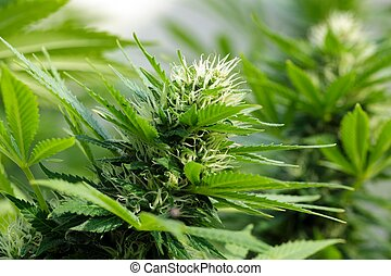 cannabis, detalhe, flowerhead