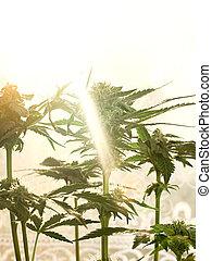cannabis, medicinal, luz sol., brotos, bask, florescer, janela, marijuana, crescendo, amarela, planta