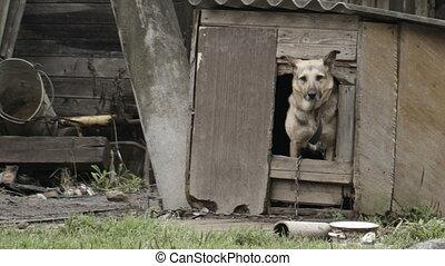 casa, peeking, cão, saída