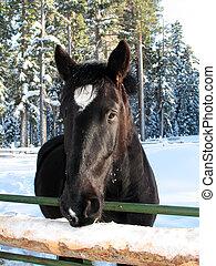 cavalo, pretas, neve, cabeça
