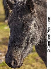 cavalo preto, closeup, cabeça