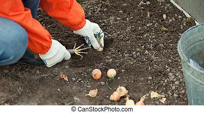 cebola, conjuntos, solo, jardineiro