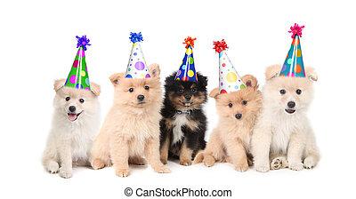 celebrando, aniversário, cinco, pomeranian, filhotes cachorro