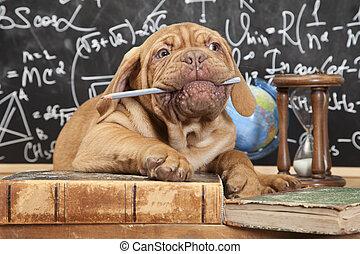 chewing, mastiff, filhote cachorro, lápis, francês