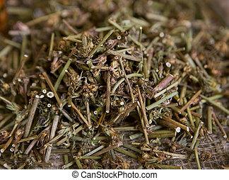 chicória, medicinal, herbs), secado, (dry