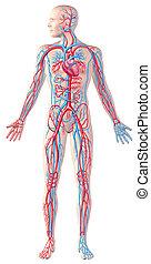 circulatório, cortando, cheio, ilustração, cortante, sistema, figura, anatomia, human, included., caminho