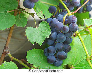 close-up., azul, uvas, maduro, grupo
