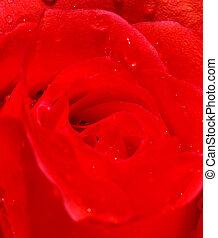 close-up, bonito, rosa
