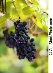 close-up, dof., videira, raso, vineyard., uvas, grupo