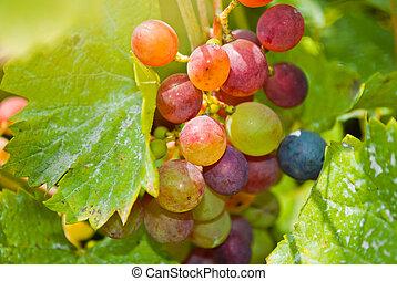 close-up, grupo, videira, uvas