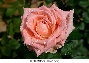 close-up, rosa, gotas água, bonito