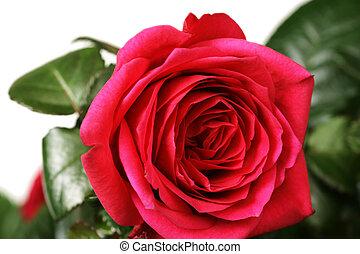 close-up, rosa, raso, vermelho, dof.