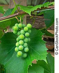close-up., uvas verdes, maduro, grupo
