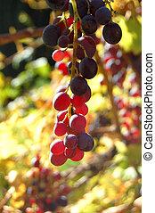 close-up, videira, vinhedo, uvas, vermelho, grupo