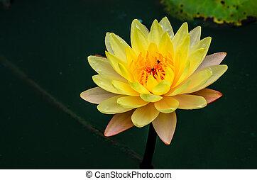 close-up, water-lilly, loto, amarela, florescer, ou