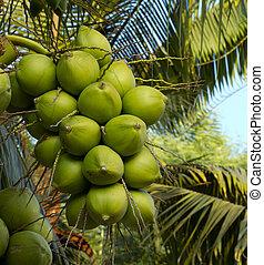 coco verde, árvore