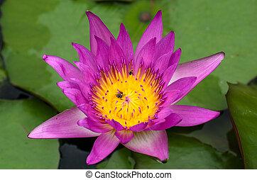 cor-de-rosa, close-up, water-lilly, loto, florescer, ou