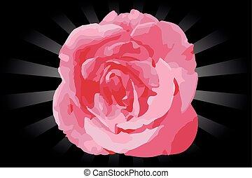 cor-de-rosa levantou-se, flor