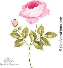 cor-de-rosa, rose.