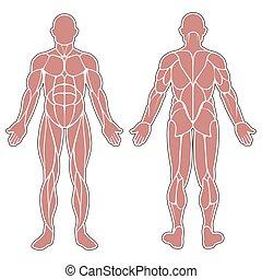 corporal, músculos, human