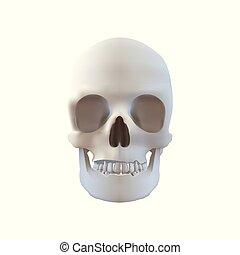cranio, -, isolado, ilustração, realístico, branca
