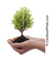crescendo, árvore verde, mãos