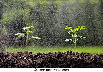 crescendo, chão, verde, chuva, seedling