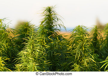 crescendo, planta, marijuana