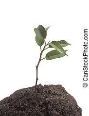crescendo, solo, árvore