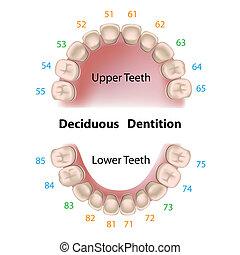 dental, leite, notação, dentes