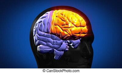 destacado, cérebro, partes