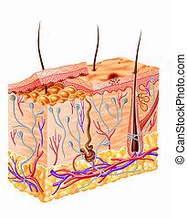 diagrama, seção, pele humana