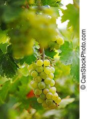 dof., videira, raso, vineyard., uvas, grupo
