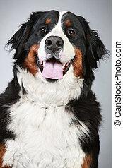 dog., montanha, close-up, bernese, retrato