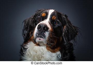 dog., montanha, close-up, cinzento, cão, escuro, bonito, bernese, estúdio, fundo, head., retrato