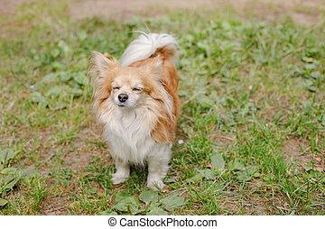 energético, ensolarado, capim, verão, relacionamento, harmonioso, jardim, quentes, cute, chihuahua, andar, dog:, jovem, cão, educação, pequeno, descansar, day., meadow., sorrindo, training.