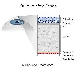 eps10, estrutura, human, córnea