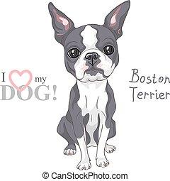 esboço, boston, raça, cão, vetorial, sério, terrier