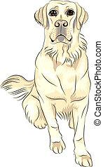 esboço, labrador, sentando, cor, raça, cão, vetorial, branca, retrievers