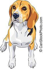 esboço, sentando, raça, cão, beagle, vetorial