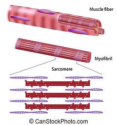 esquelético, músculo, estrutura, fibra
