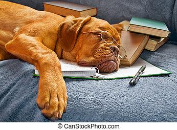 estudar, após, cão, dormir