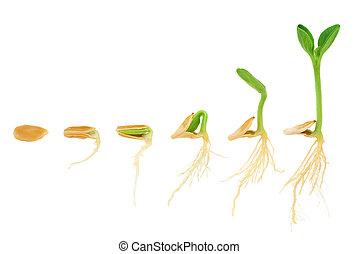 evolução, conceito, sequência, isolado, planta, crescendo, abóbora