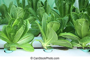 fazenda, alface, salada verde, hydroponic