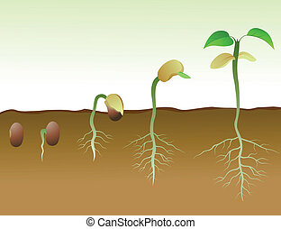 feijão, squence, semente, germinação