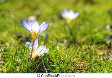 fim, primavera, macro, cima, açafrão