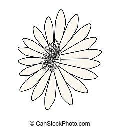 flor branca, fundo, margarida