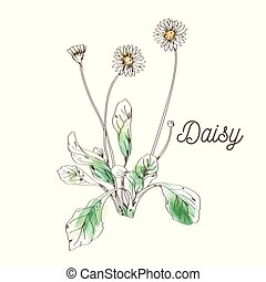 flor branca, quadro, fundo, margarida